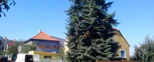 Jedle, Praha: Rizikové kácení