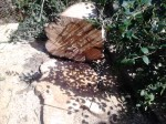 rizikove-kaceni-stromu-jedle-praha
