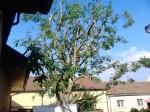 rizikove-kaceni-prorez-stromu-orech-horomerice