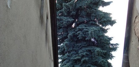 Smrk pichlavý, Červená Řečice: Rizikové kácení