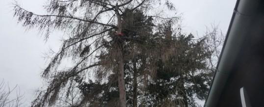 Modřín, Brandýs nad Labem: Rizikové kácení