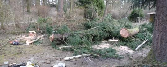 4 stromy, Jílové: Rizikové kácení
