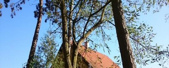Borovice, Praha: Rizikové kácení