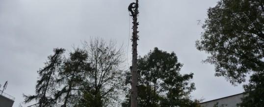 4x modřín, 1x borovice, Brandýs nad Labem: Rizikové kácení