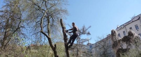 Myrobalán třešňový, Praha: Kácení